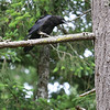 This was taken upon our arrival Wednesday.  Boomer saw one of our resident ravens drop a dead rabbit's shoulderblade, so the two of them had a 20 minute standoff.  There was a lot of noise on the raven's part.