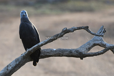 Grey headed Fish Eagle low on a dead branch (Lunugamvehera National Park)