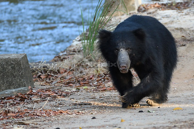 Sloth bear crossing a bridge