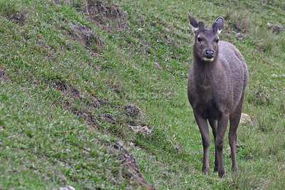 Sambar deer at Horton Plains