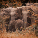 Family of Elephants- a group photo