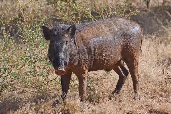 Eurasian Wild Pig (Lunugamvehera National Park)