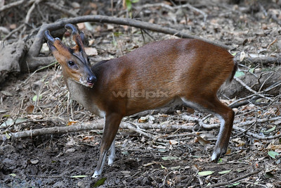 Indian Muntjac (Lunugamvehera National Park)