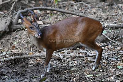 Indian Muntjac (Lunugamvehera National Park)