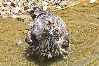 Crested Hawk Eagle cooling down in a stream (Lunugamvehera National Park)
