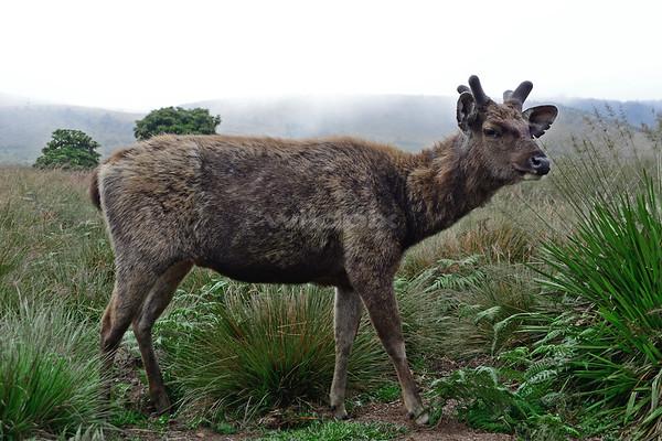 Sambar deer at Horton Plains