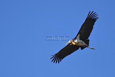 Lesser Adjutant in flight