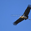 Lesser Adjutant in flight