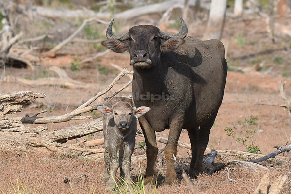 Water Buffalo and calf (Lunugamvehera National Park)