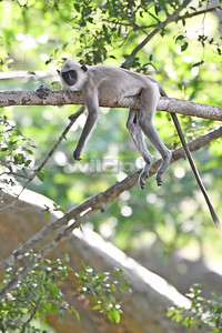 Tufted Grey Langur resting on branch (Lunugamvehera National Park)