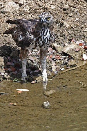 Crested Hawk Eagle getting to the stream for a drink