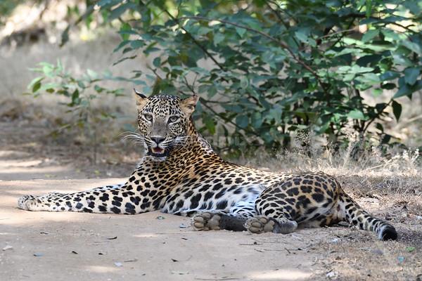 Sri Lanka Leopard resting along a dirt track