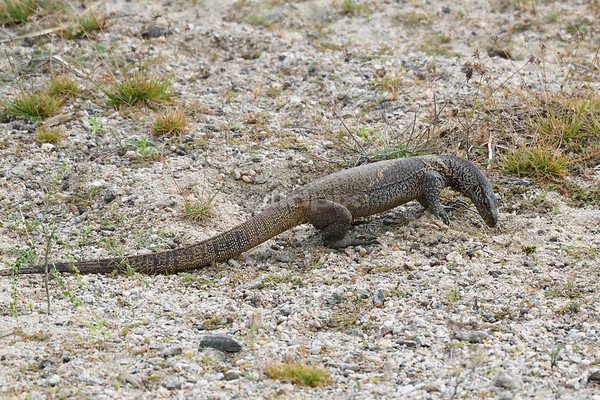 Bengal Monitor Lizard looking for food