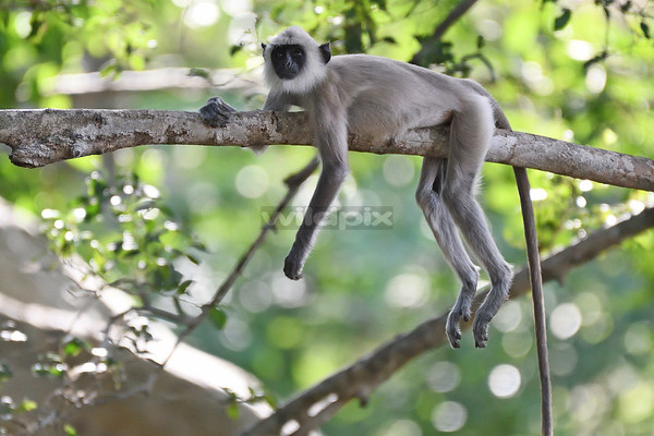 A sub-adult tufted grey langur lying on a branch (Lunugamvehera National Park)