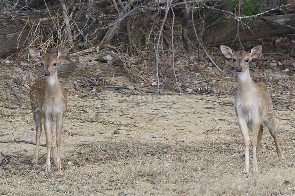 Spotted Deers on alert at Lunugamvehera National Park