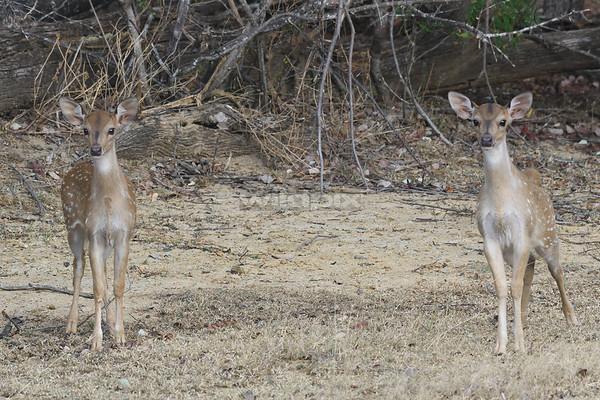 Spotted Deers on alert at Lunugamvehera National Park