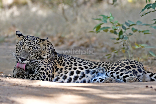 Sri Lanka Leopard licking its paw