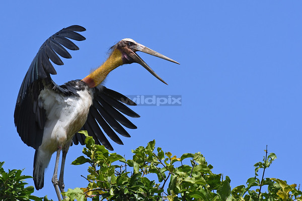 An agitated lesser adjutant spreading its wing