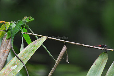 Green-crested Lizard eyeing on the dragonfly