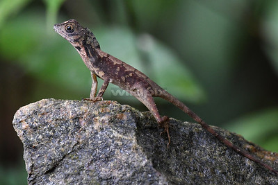 Kangaroo Lizard over a rock