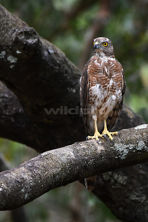 Shikra on a tree branch overlooking a river