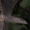 Bengal Monitor Lizard on a palm tree