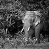 Tusker in musth