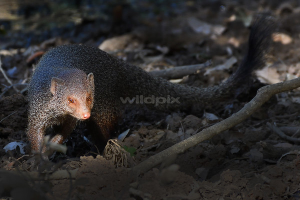 Sunlight on Ruddy Mongoose face