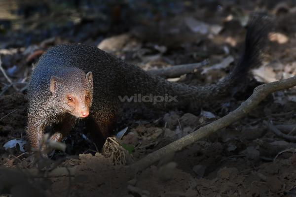Sunlight on Ruddy Mongoose face