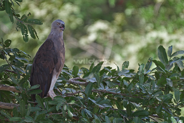 Grey-headed Fish Eagle on a low branch