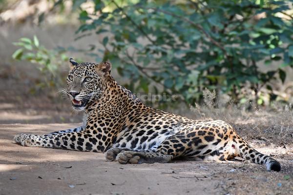 Sri Lanka Leopard resting on the dirt track