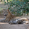 Sri Lanka Leopard resting on the dirt track