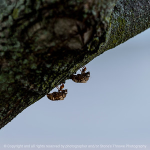 015-locust_molt-wdsm-02aug16-12x12-006-5109
