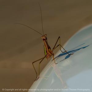 015-insect_praying_mantis-wdsm-07sep21-09x09-006-400-4668