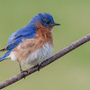 Freshly bathed and blown dry Mr. Bluebird