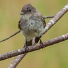 Phoebe - Eastern Flycatcher