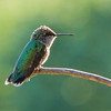 Immature rufus hummingbird