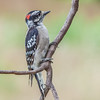 Immature downy woodpecker growing his colors.