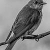 Baby bluebird (B&W)