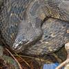 FL Brown Water Snake