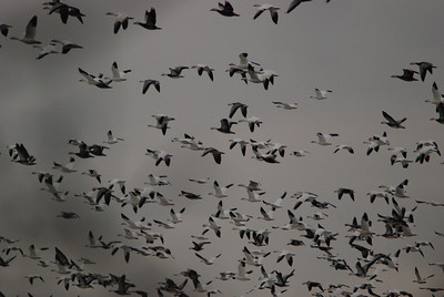 Lots of geese!