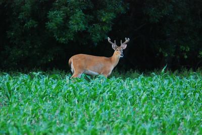 Local Whitetail deer, Beaver Crossing, NE.