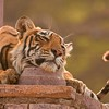 Tiger sitting in a stone Chattri or temple in Ranthambore tiger reserve