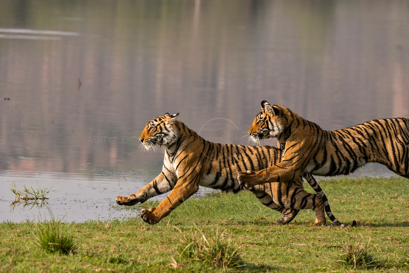 Charging tigers