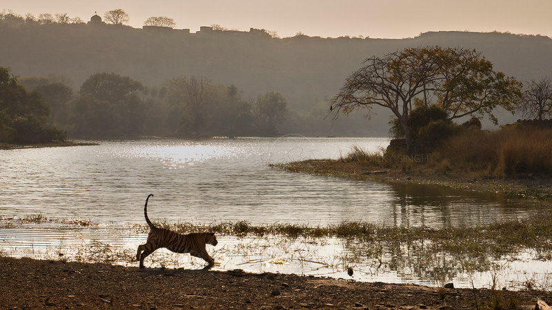 Wild tiger in the waters of a lake