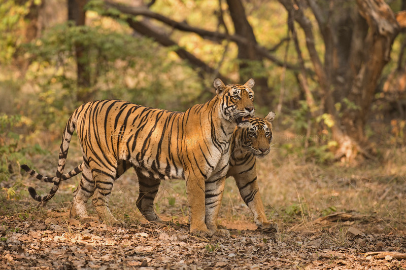 Tigers on a forest track