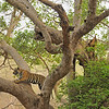 Tiger climbing a Ficus tree in Ranthanbhore tiger reserve