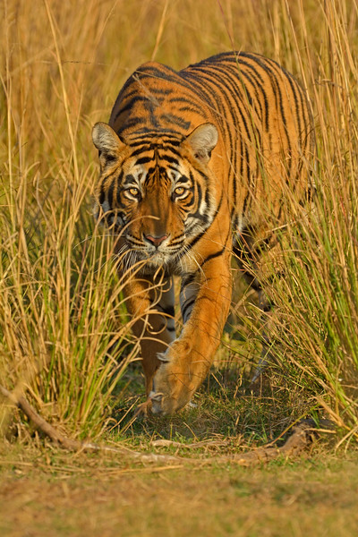 Approaching tiger