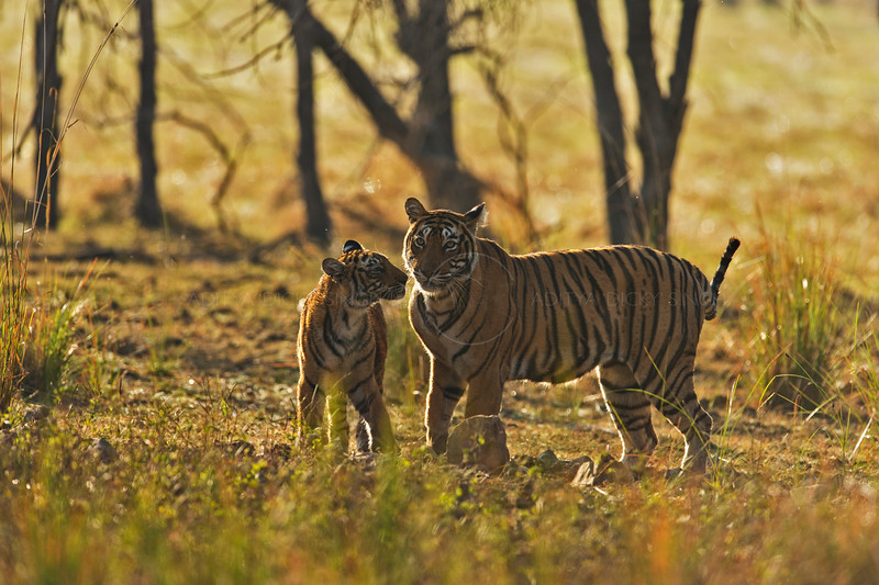 Backlit tigress and cub at play