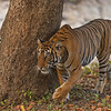Stalking tiger in a dry forest